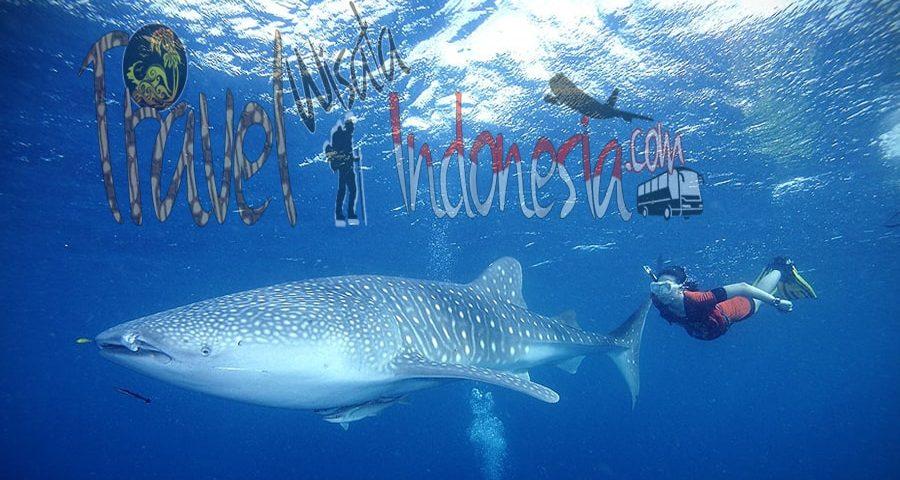 Lokasi berenang dengan hiu paus